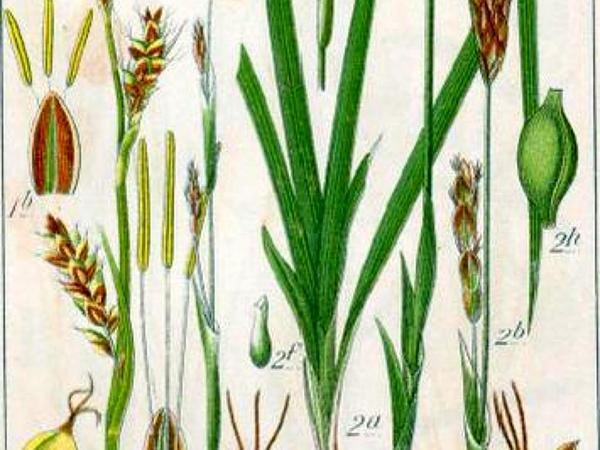 Grass-Like Sedge (Carex Panicea) https://www.sagebud.com/grass-like-sedge-carex-panicea