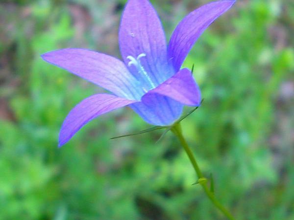 Spreading Bellflower (Campanula Patula) https://www.sagebud.com/spreading-bellflower-campanula-patula