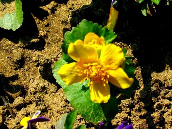 Yellow Marsh Marigold (Caltha Palustris) https://www.sagebud.com/yellow-marsh-marigold-caltha-palustris