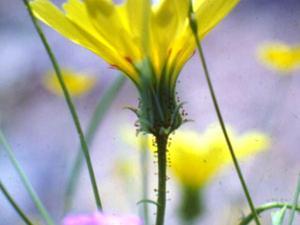 Yellow Tackstem