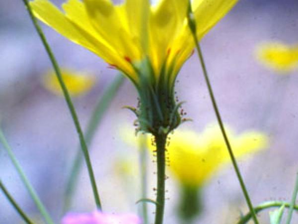 Yellow Tackstem (Calycoseris Parryi) https://www.sagebud.com/yellow-tackstem-calycoseris-parryi