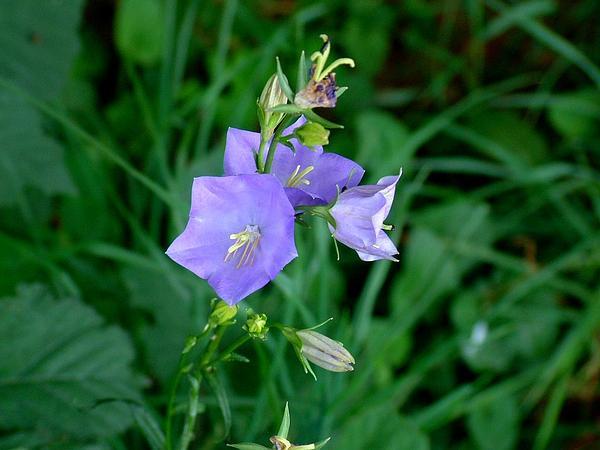 Peachleaf Bellflower (Campanula Persicifolia) https://www.sagebud.com/peachleaf-bellflower-campanula-persicifolia