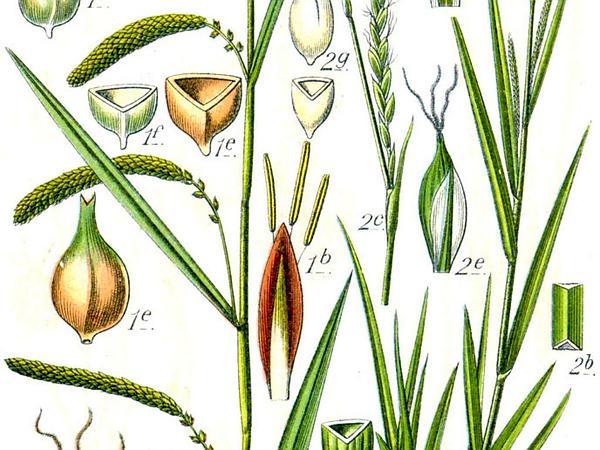 Hanging Sedge (Carex Pendula) https://www.sagebud.com/hanging-sedge-carex-pendula