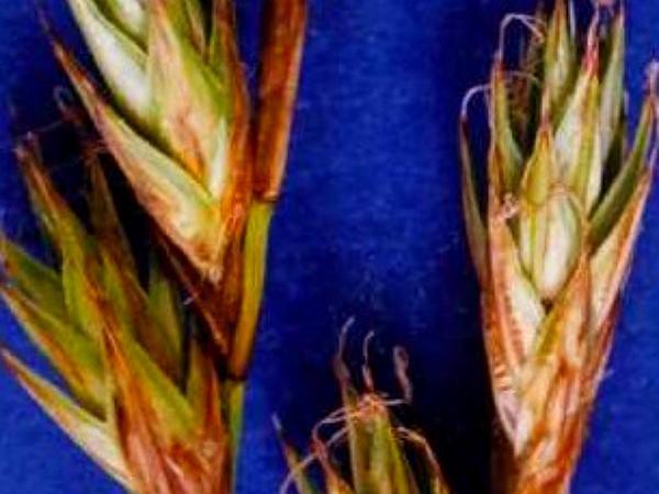 Liddon Sedge (Carex Petasata) https://www.sagebud.com/liddon-sedge-carex-petasata