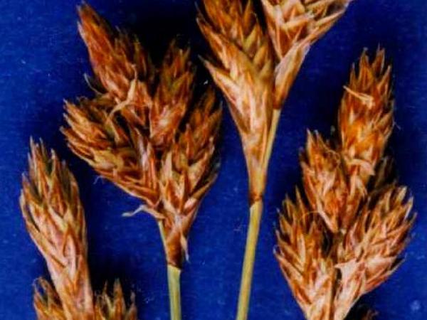 Dunhead Sedge (Carex Phaeocephala) https://www.sagebud.com/dunhead-sedge-carex-phaeocephala