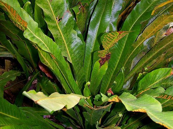 Long Strapfern (Campyloneurum Phyllitidis) https://www.sagebud.com/long-strapfern-campyloneurum-phyllitidis/