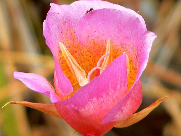 Plummer's Mariposa Lily (Calochortus Plummerae) https://www.sagebud.com/plummers-mariposa-lily-calochortus-plummerae/