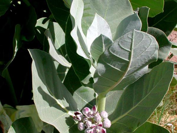 Roostertree (Calotropis Procera) https://www.sagebud.com/roostertree-calotropis-procera