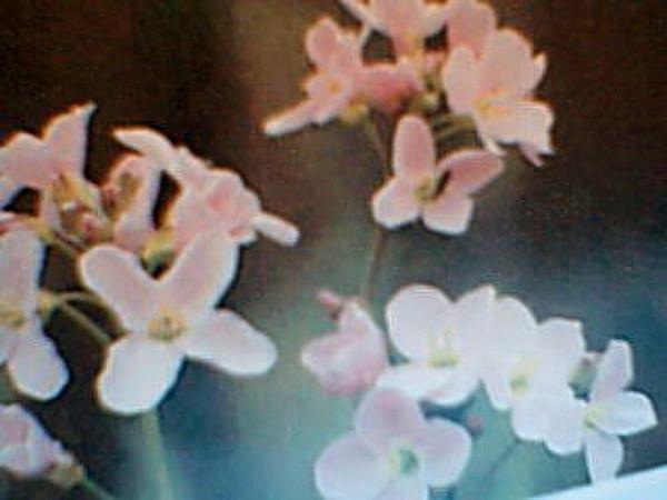 Cuckoo Flower (Cardamine Pratensis) https://www.sagebud.com/cuckoo-flower-cardamine-pratensis