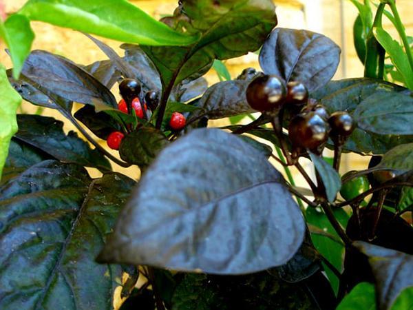 Pepper (Capsicum) https://www.sagebud.com/pepper-capsicum