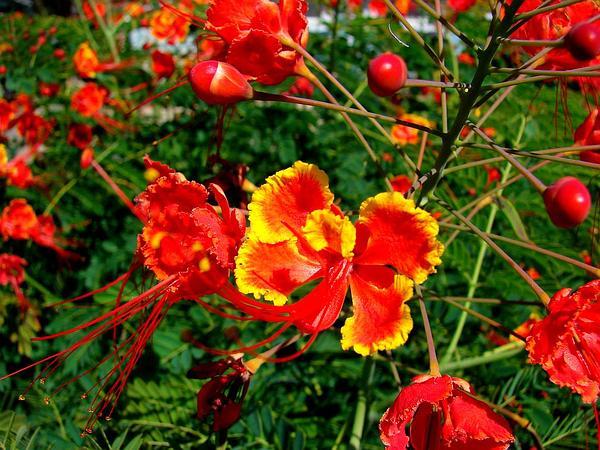 Pride-Of-Barbados (Caesalpinia Pulcherrima) https://www.sagebud.com/pride-of-barbados-caesalpinia-pulcherrima