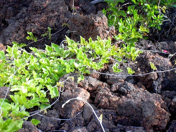 Lavafield Jackbean (Canavalia Pubescens) https://www.sagebud.com/lavafield-jackbean-canavalia-pubescens