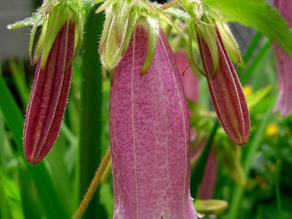 Spotted Bellflower (Campanula Punctata) https://www.sagebud.com/spotted-bellflower-campanula-punctata/