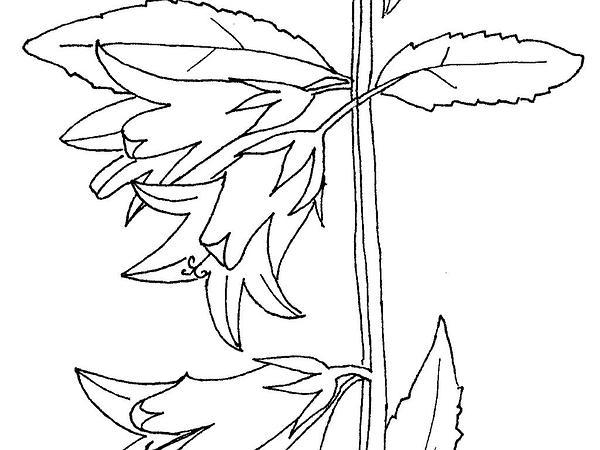 Rampion Bellflower (Campanula Rapunculoides) https://www.sagebud.com/rampion-bellflower-campanula-rapunculoides