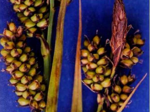 Raynolds' Sedge (Carex Raynoldsii) https://www.sagebud.com/raynolds-sedge-carex-raynoldsii