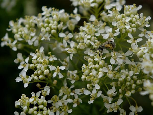 Whitetop (Cardaria) https://www.sagebud.com/whitetop-cardaria