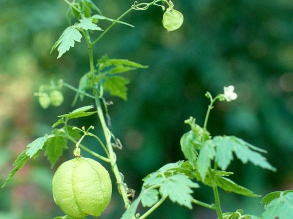 Balloonvine (Cardiospermum) https://www.sagebud.com/balloonvine-cardiospermum