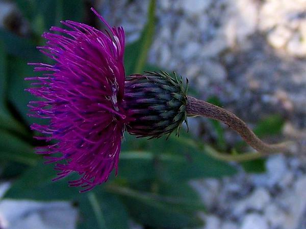 Plumeless Thistle (Carduus) https://www.sagebud.com/plumeless-thistle-carduus