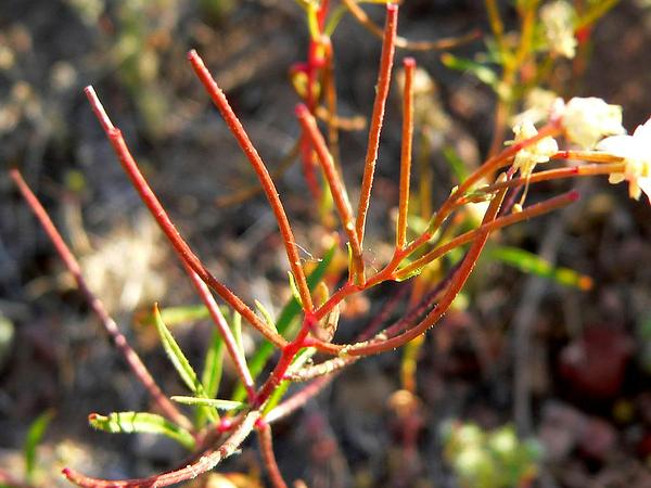 Narrowleaf Suncup (Camissonia Refracta) https://www.sagebud.com/narrowleaf-suncup-camissonia-refracta
