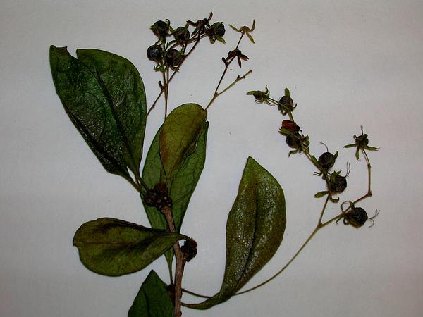 Scorpionbush (Carmona Retusa) https://www.sagebud.com/scorpionbush-carmona-retusa