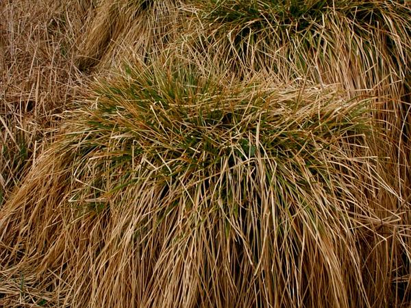 Sedge (Carex) https://www.sagebud.com/sedge-carex