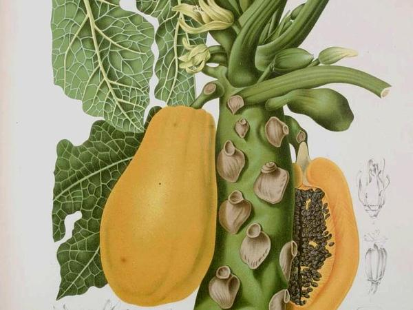 Papaya (Carica) https://www.sagebud.com/papaya-carica/