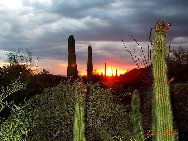 Saguaro (Carnegiea) https://www.sagebud.com/saguaro-carnegiea/