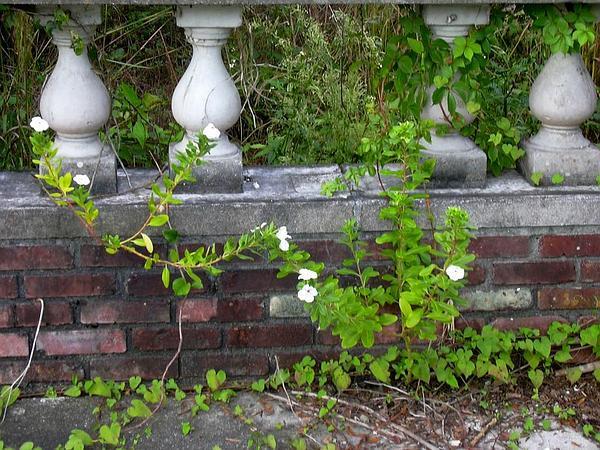 Madagascar Periwinkle (Catharanthus Roseus) https://www.sagebud.com/madagascar-periwinkle-catharanthus-roseus