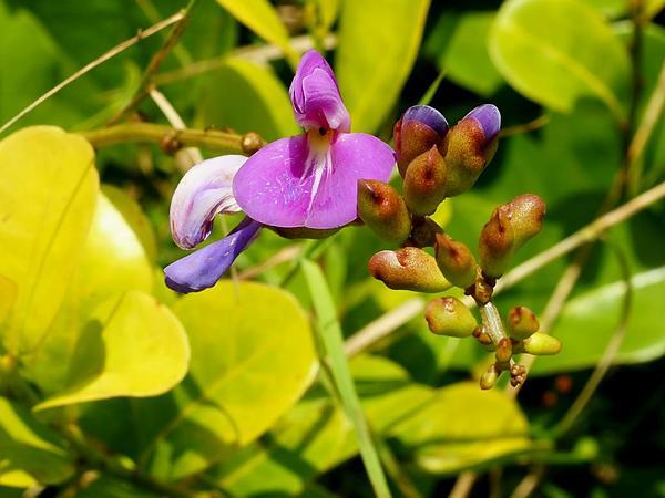 Baybean (Canavalia Rosea) https://www.sagebud.com/baybean-canavalia-rosea