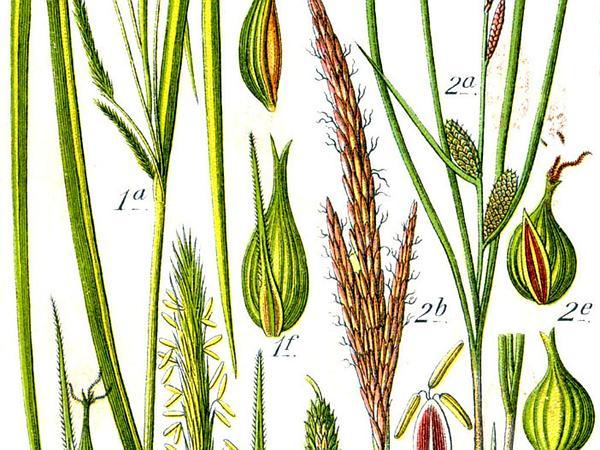 Beaked Sedge (Carex Rostrata) https://www.sagebud.com/beaked-sedge-carex-rostrata