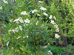 Tree Anemone