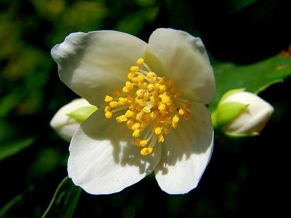 Tree Anemone (Carpenteria) https://www.sagebud.com/tree-anemone-carpenteria/