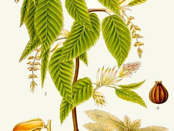 Hornbeam (Carpinus) https://www.sagebud.com/hornbeam-carpinus/