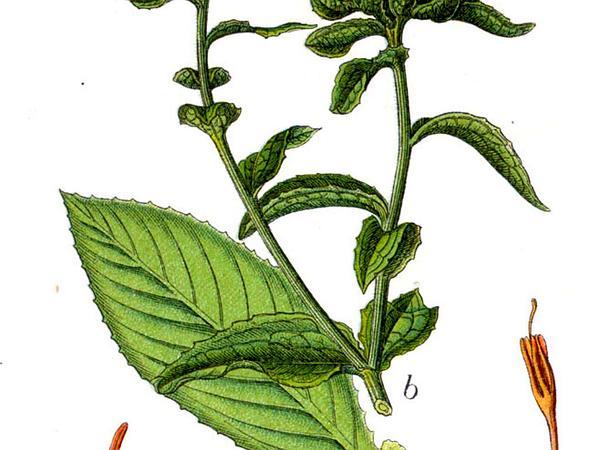 Distaff Thistle (Carthamus) https://www.sagebud.com/distaff-thistle-carthamus