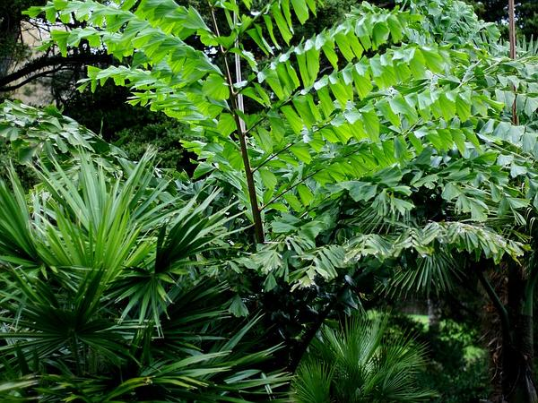 Fishtail Palm (Caryota) https://www.sagebud.com/fishtail-palm-caryota