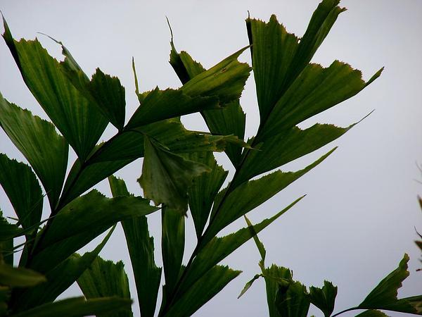 Fishtail Palm (Caryota) https://www.sagebud.com/fishtail-palm-caryota