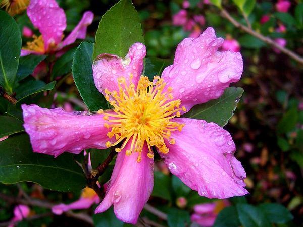 Sasanqua Camellia (Camellia Sasanqua) https://www.sagebud.com/sasanqua-camellia-camellia-sasanqua