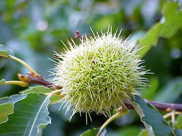 European Chestnut (Castanea Sativa) https://www.sagebud.com/european-chestnut-castanea-sativa