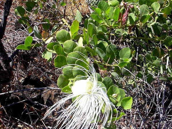 Native Caper (Capparis Sandwichiana) https://www.sagebud.com/native-caper-capparis-sandwichiana