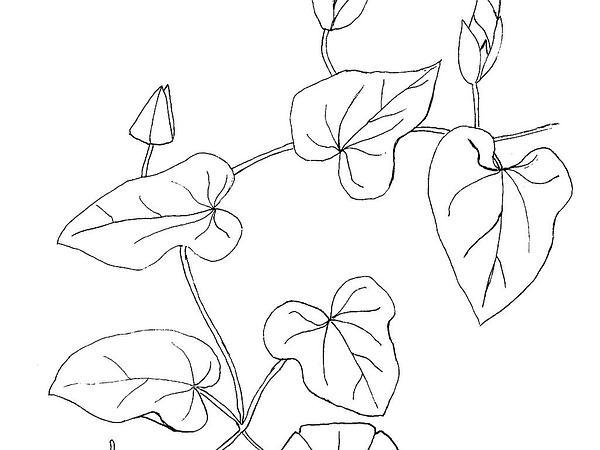 Hedge False Bindweed (Calystegia Sepium) https://www.sagebud.com/hedge-false-bindweed-calystegia-sepium