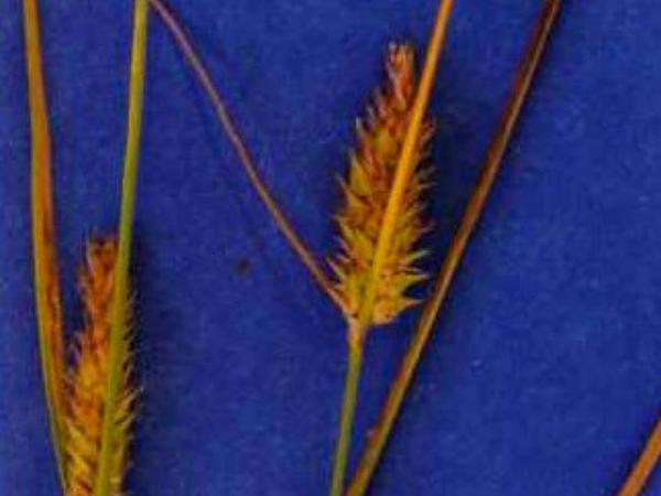 Sheldon's Sedge (Carex Sheldonii) https://www.sagebud.com/sheldons-sedge-carex-sheldonii