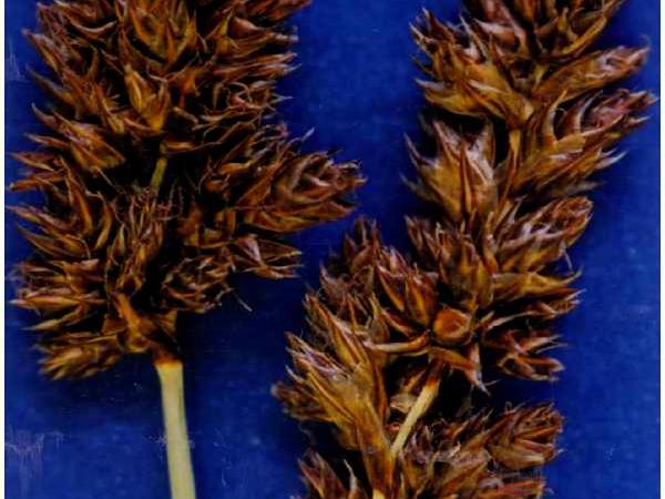 Analogue Sedge (Carex Simulata) https://www.sagebud.com/analogue-sedge-carex-simulata