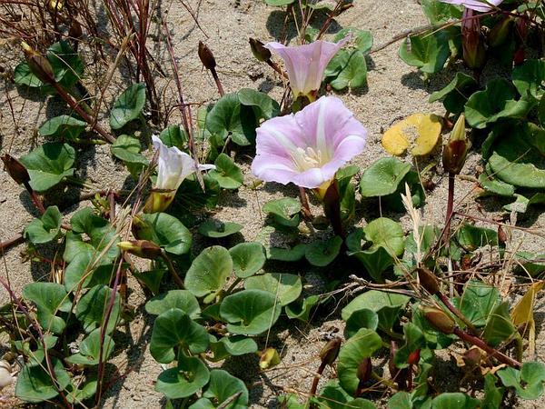 Seashore False Bindweed (Calystegia Soldanella) https://www.sagebud.com/seashore-false-bindweed-calystegia-soldanella/
