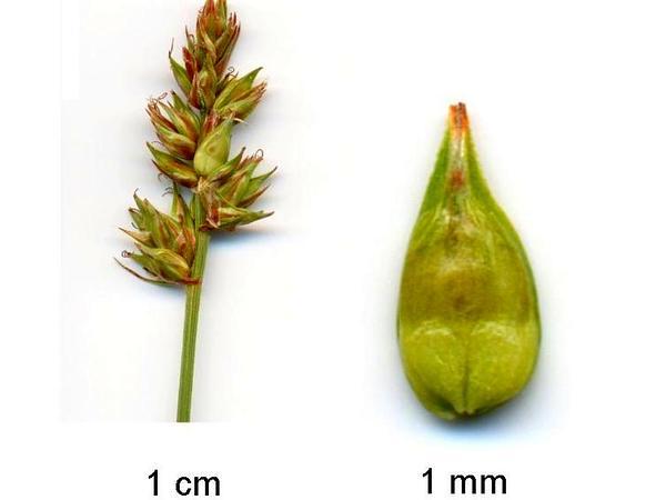 Prickly Sedge (Carex Spicata) https://www.sagebud.com/prickly-sedge-carex-spicata