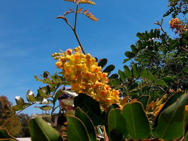 Spiny Holdback (Caesalpinia Spinosa) https://www.sagebud.com/spiny-holdback-caesalpinia-spinosa/