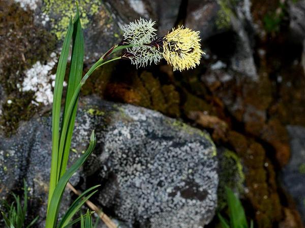 Showy Sedge (Carex Spectabilis) https://www.sagebud.com/showy-sedge-carex-spectabilis