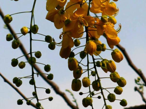 Cassia (Cassia) https://www.sagebud.com/cassia-cassia
