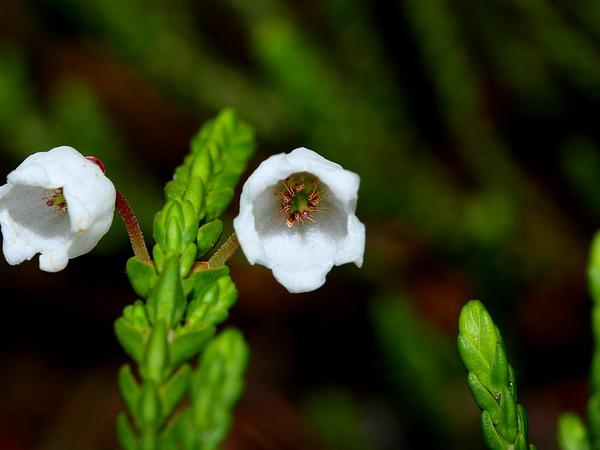 Mountain Heather (Cassiope) https://www.sagebud.com/mountain-heather-cassiope