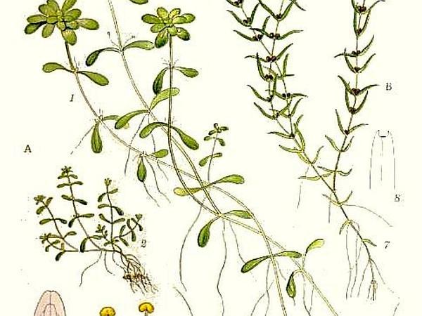 Pond Water-Starwort (Callitriche Stagnalis) https://www.sagebud.com/pond-water-starwort-callitriche-stagnalis/