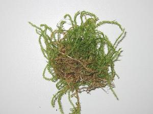 Star Campylium Moss